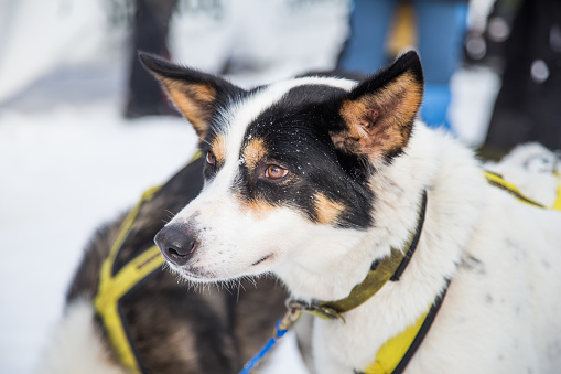 Beautiful Alaska Husky Dogs At The Finish Line Of A Sled Dog Race Stock Photo - Download Image Now