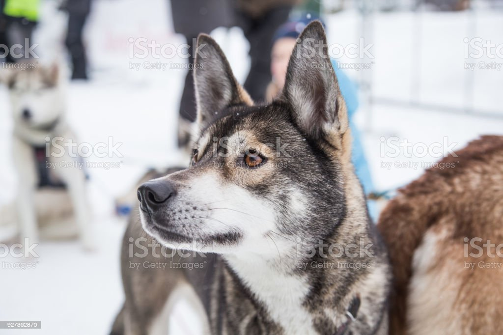 Beautiful alaska husky dogs at the finish line of a sled dog race. - Royalty-free Activity Stock Photo