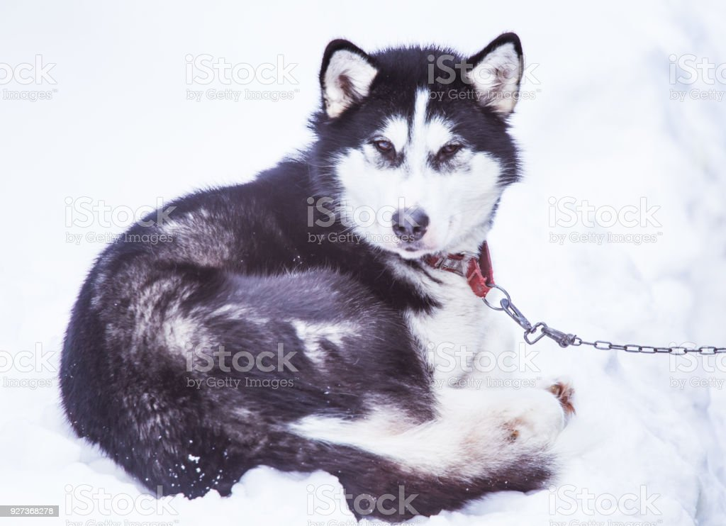 Beautiful alaska husky dogs waiting for a sled dog race to start. stock photo