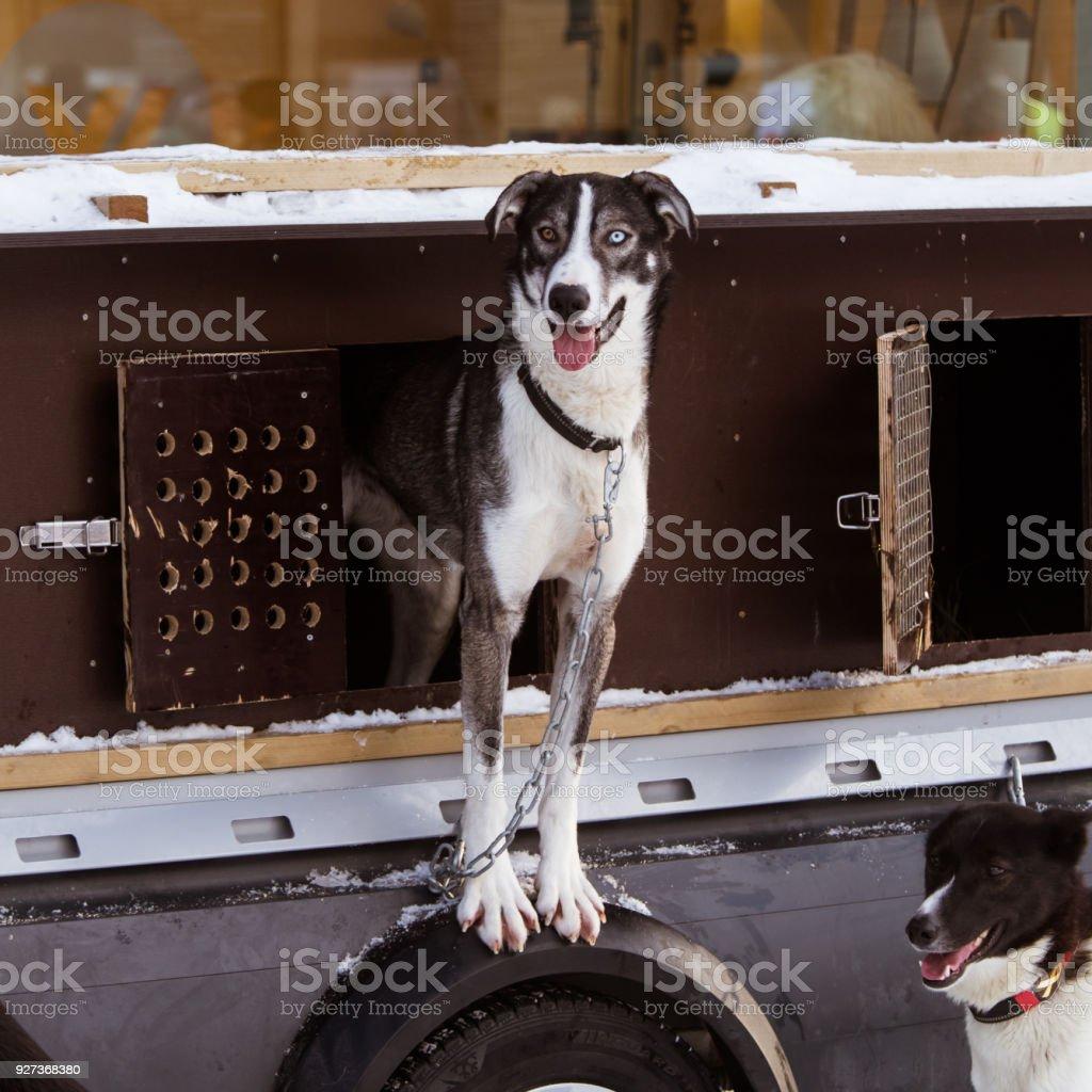 Beautiful alaska husky dogs waiting for a sled dog race to start. - Royalty-free Activity Stock Photo
