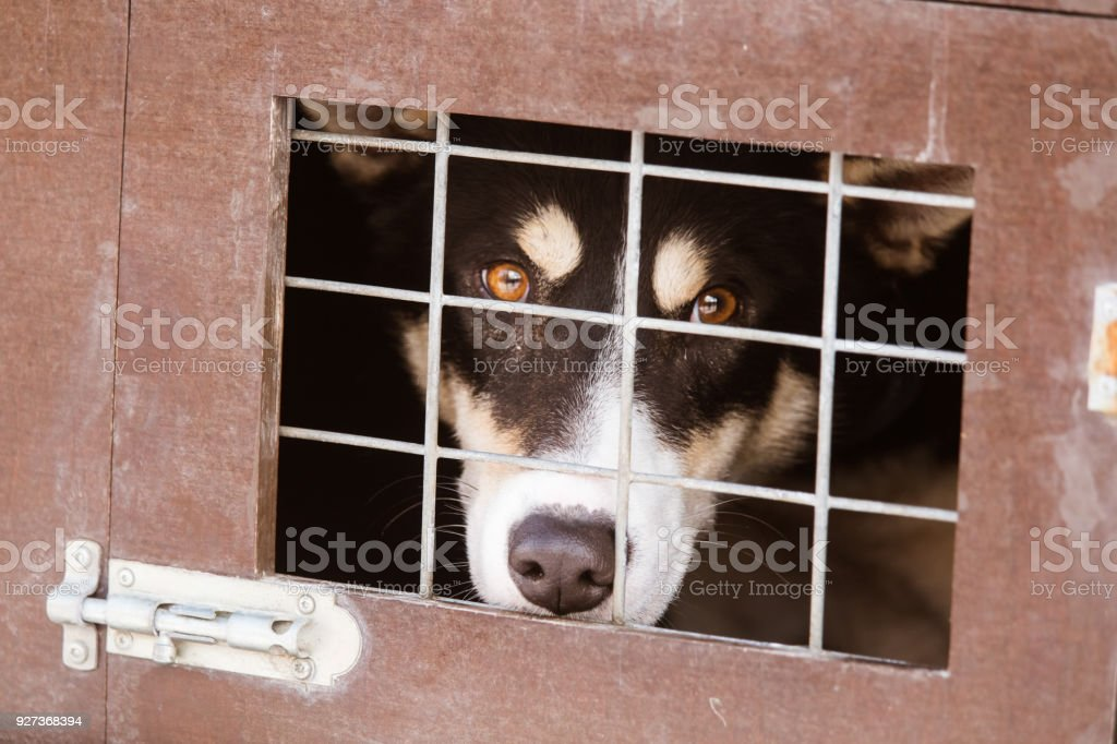 Beautiful alaska husky dogs waiting for a sled dog race to start. Beautiful alaska husky dogs waiting for a sled dog race to start. Cute portrait of a man's best friend. Activity Stock Photo