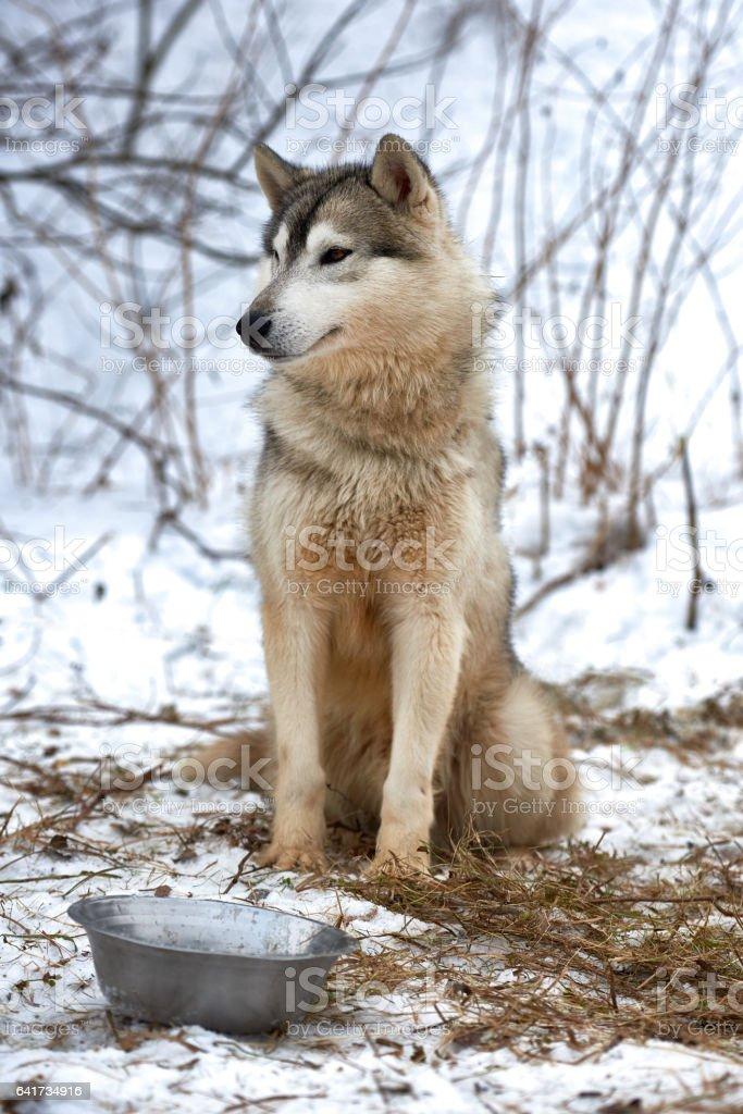 Beautiful alaskan malamute stock photo