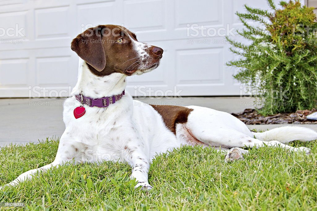 Beautiful Alert Mixed Breed Dog on Front Lawn stock photo