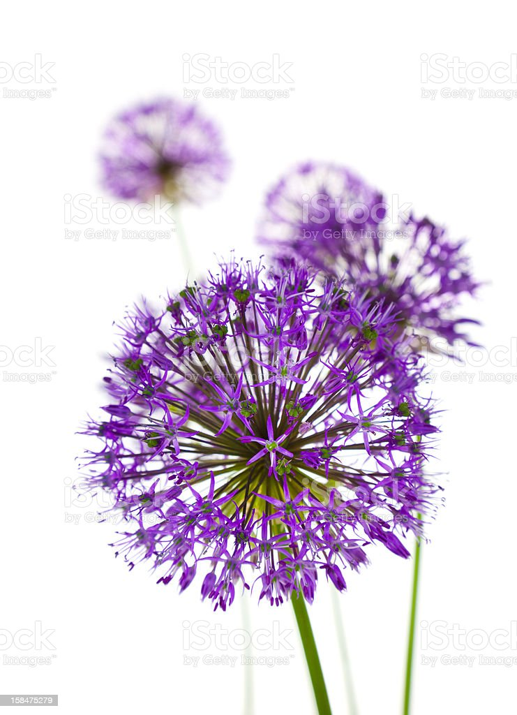 Beautiful Allium Fliwers / abstract  on white stock photo
