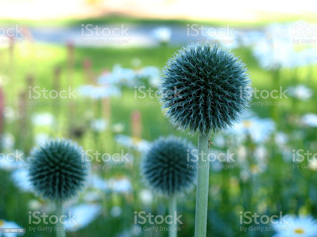 Beautiful Allium Seed Heads with Defused Background stock photo