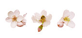 Spring pink blossom in different forms, bee and buds. Tender flowers isolated. Beautiful almond flowers isolated on white background.