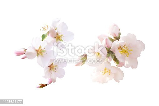 Spring pink blossom in different forms, buds. Tender flowers isolated. Beautiful almond flowers isolated on white background.