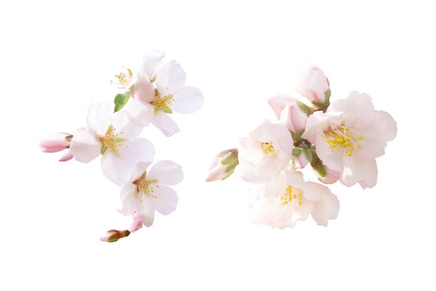 Beautiful almond flowers isolated on white background. Spring pink blossom in different forms, buds. Tender flowers isolated. Spring pink blossom in different forms, buds. Tender flowers isolated. Beautiful almond flowers isolated on white background. flower head stock pictures, royalty-free photos & images