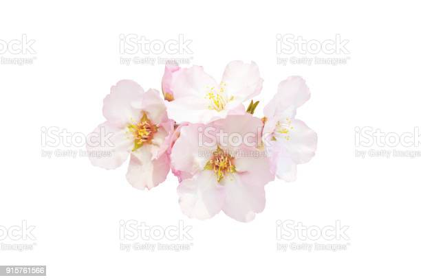 Beautiful almond flowers isolated on white background spring pink in picture id915761566?b=1&k=6&m=915761566&s=612x612&h=yoln1ritllniqwb8hfw6am7yprlyqifcs1tmo7jsdii=