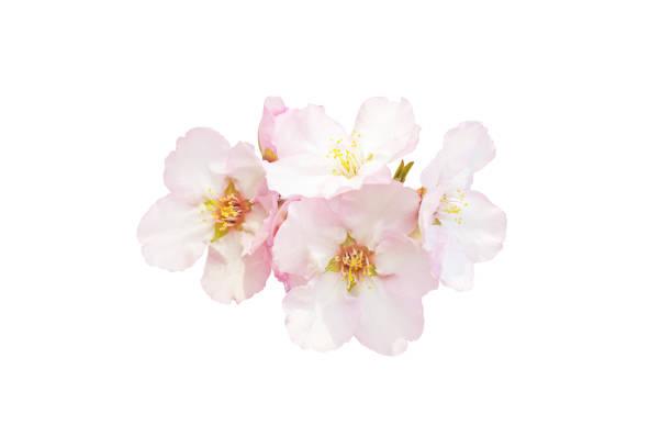 白色背景上的美麗的杏仁花。春天的粉紅色在不同的形式開花。嫩花被隔絕。 - 在開花 個照片及圖片檔