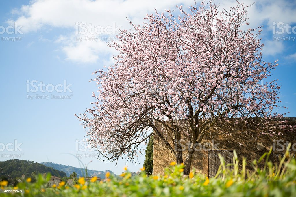 beautiful almond tree in spanish landscape stock photo