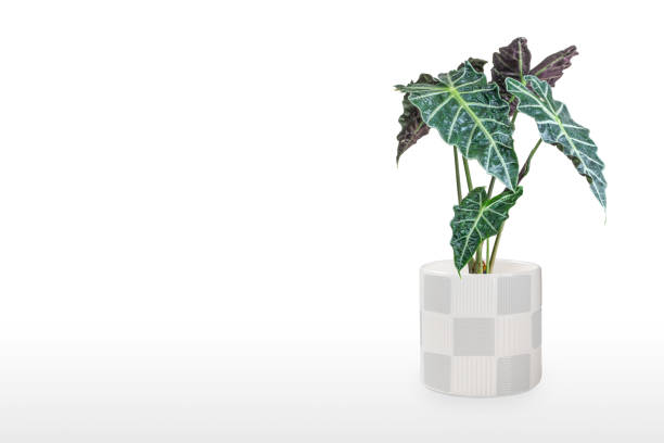 Belle plante d'Alocasia dans le pot d'isolement sur la table - Photo