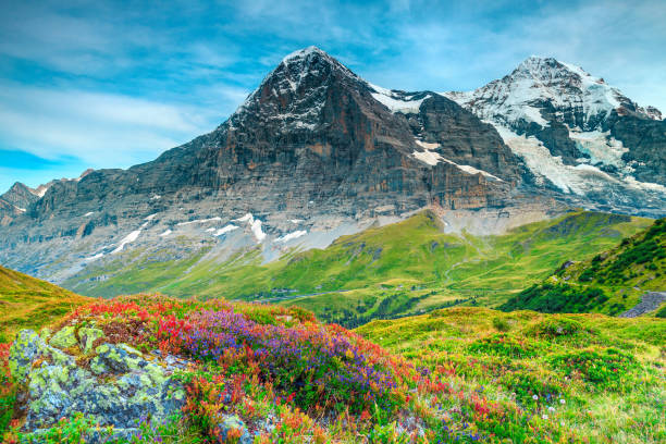 Beautiful alpine flowers and high snowy mountains near Grindelwald, Switzerland stock photo