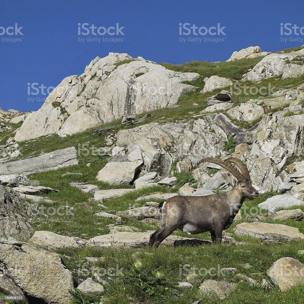 Beautiful alpine ibex royalty-free stock photo