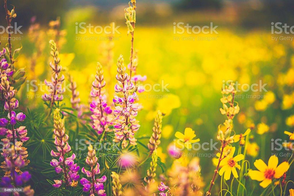Beautiful alpine wildflowers growing in field. Summer in USA - foto de stock