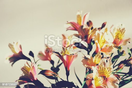 A Nature Background of Beautiful  Alstroemeria Flowers Indoors Close-Up.