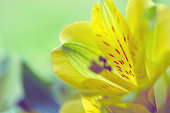 istock beautiful alstroemeria flower macro, flower background 1247766962