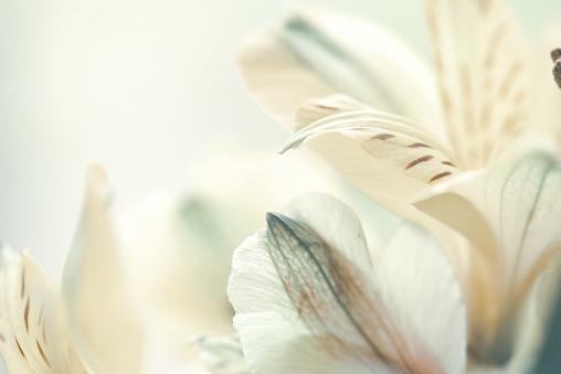 beautiful alstroemeria flower macro background