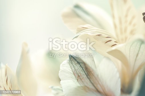beautiful alstroemeria flower macro background