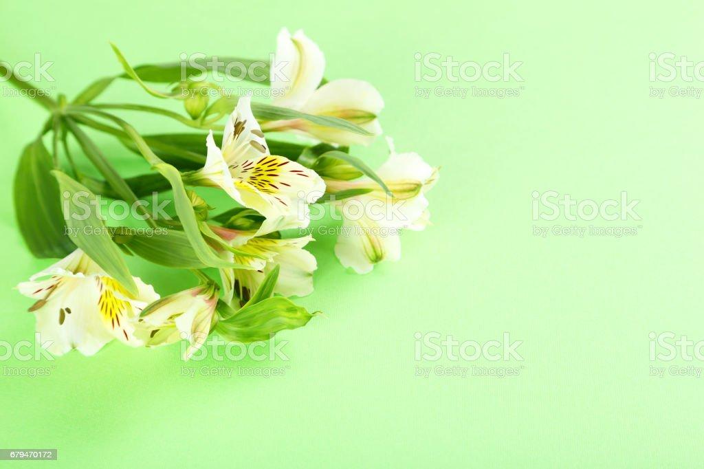 Beautiful alstroemeria flowers on a green background 免版稅 stock photo