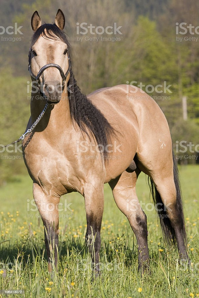 Beautiful American Quarter horse stallion stock photo