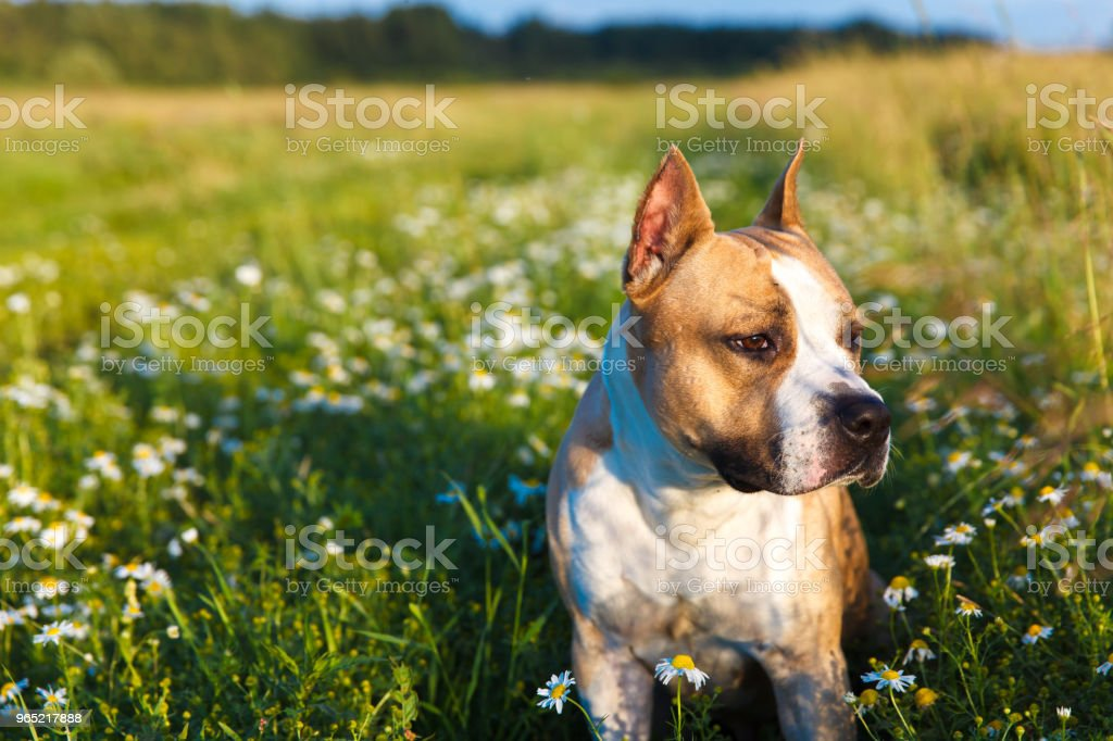 beautiful American Staffordshire terrier on nature in summer on the grass royalty-free stock photo