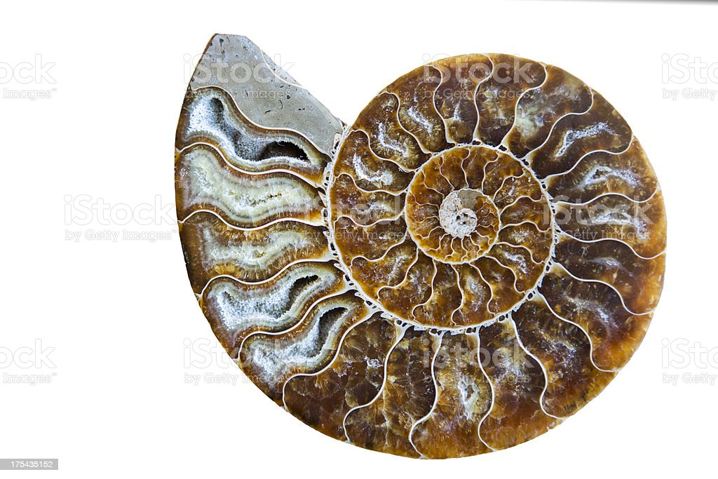 Beautiful Ammonite Fossil Shell Isolated on White stock photo