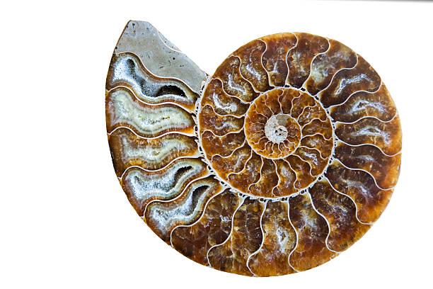 beautiful ammonite fossil shell isolated on white - 黃金比例 個照片及圖片檔