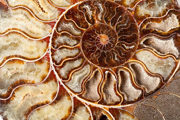 Wunderschöne Ammonit mineral – Foto
