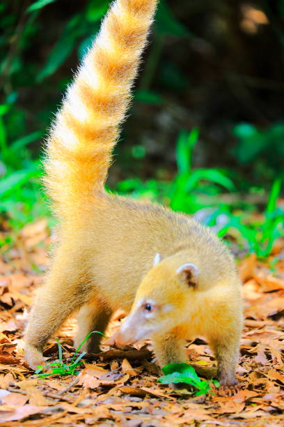 Hermoso y lindo coatí, mapache mamífero con larga cola de anillo, en Iguazu, Parana – Brasil, en la frontera con Argentina, América del sur - foto de stock