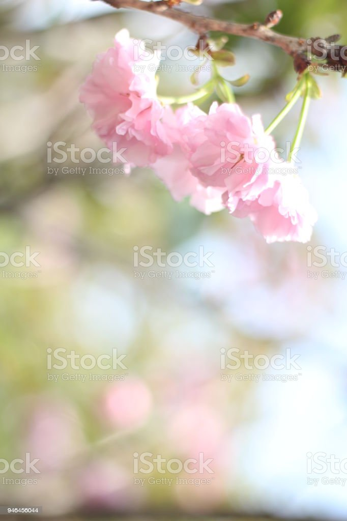 Beautiful And Cute Pink Cherry Blossom Flowers Wallpaper Background