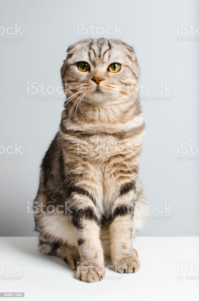 beautiful and cute Scottish cat cute sitting on a white isolator stock photo