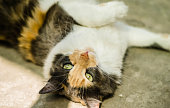 A beautiful and cute tricolor calico cat. Selective focus
