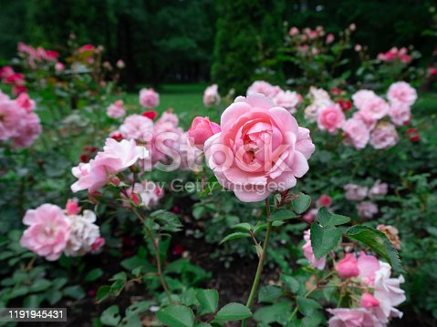 Beautiful and delicate pink tea roses in the garden on green bushes. One rose close up on the blurred background.