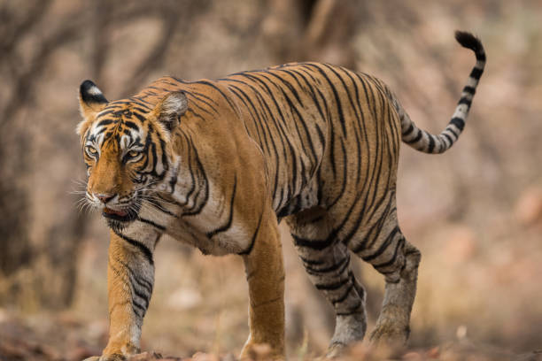 a beautiful and dominant tigress on the prowl - wildlife conservation stock photos and pictures
