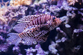 beautiful and exotic Lion fish in big aquarium