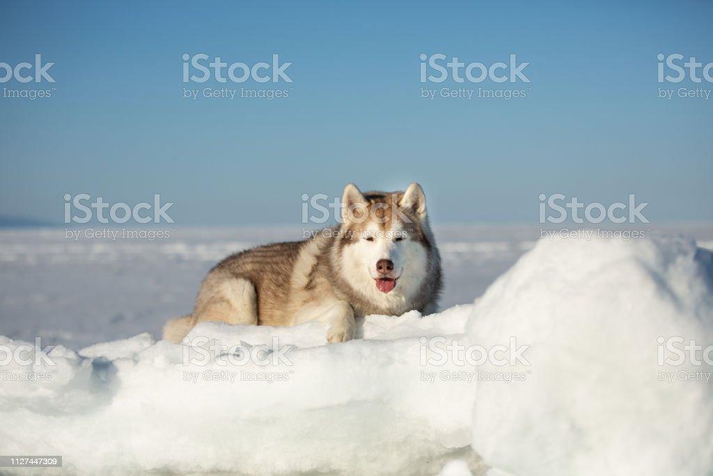 Schone Und Kostenlose Siberian Husky Hund Auf Eisscholle Liegend