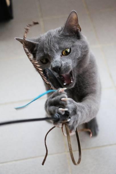 Beautiful and funny gray carthusian kitten is playing with a toy picture id1211365399?b=1&k=6&m=1211365399&s=612x612&w=0&h=s1a6xyuuvehzlhfjiufrbtc atqqsb1tv12zegjdqse=