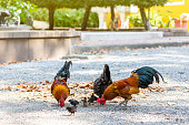Beautiful and healthy thai Chicken flock find food on ground