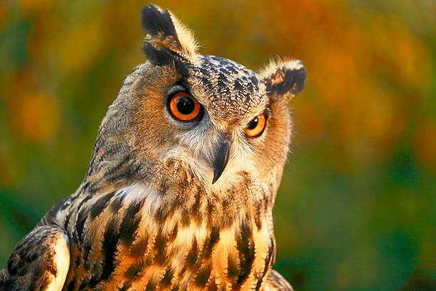 beautiful and impressive smart owl, bird of prey - amerikaanse oehoe stockfoto's en -beelden