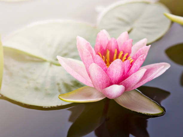 Beautiful and sweet pink petals lotus or water lily floating on the surface of water in natural lake, river or swamp in natural park with beautiful sunset or sunrise flare in Spring and Summer season stock photo