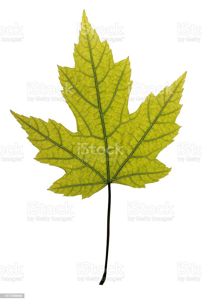 Beautiful and undamaged green maple leaf. royalty-free stock photo