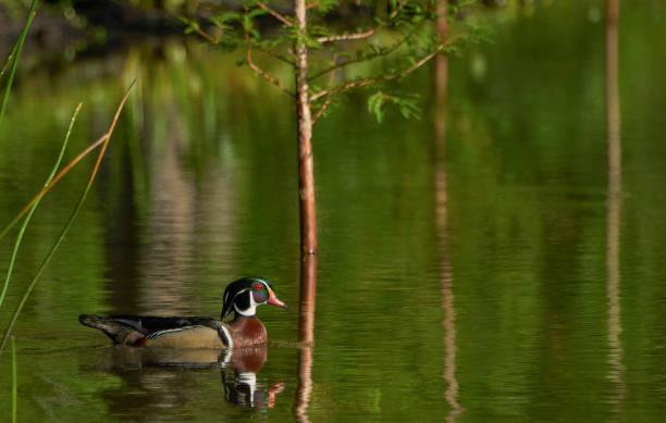 Beautiful and Vibrantly Colored Male Wood Duck in Orlando Wetlands Park in Central Florida stock photo
