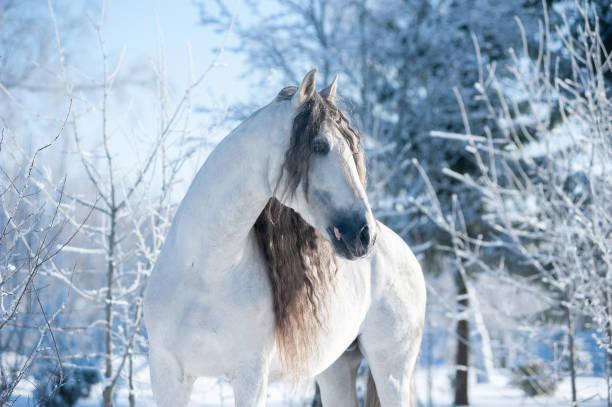 Beautiful andalusian horse winter portrait picture id1199978844?b=1&k=6&m=1199978844&s=612x612&w=0&h=muozf1n 2ndugqw6skgpm 9puwoc ifa nonyo dkuc=