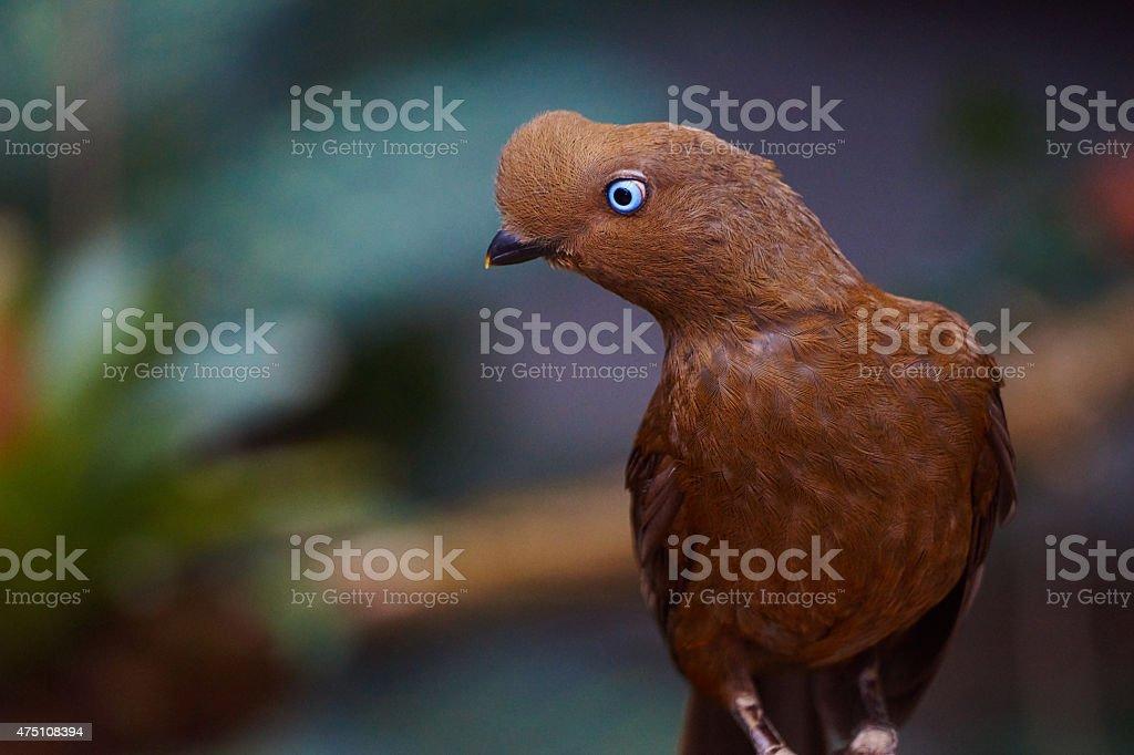 Wunderschöne Andenklippenvogel bird paradise – Foto