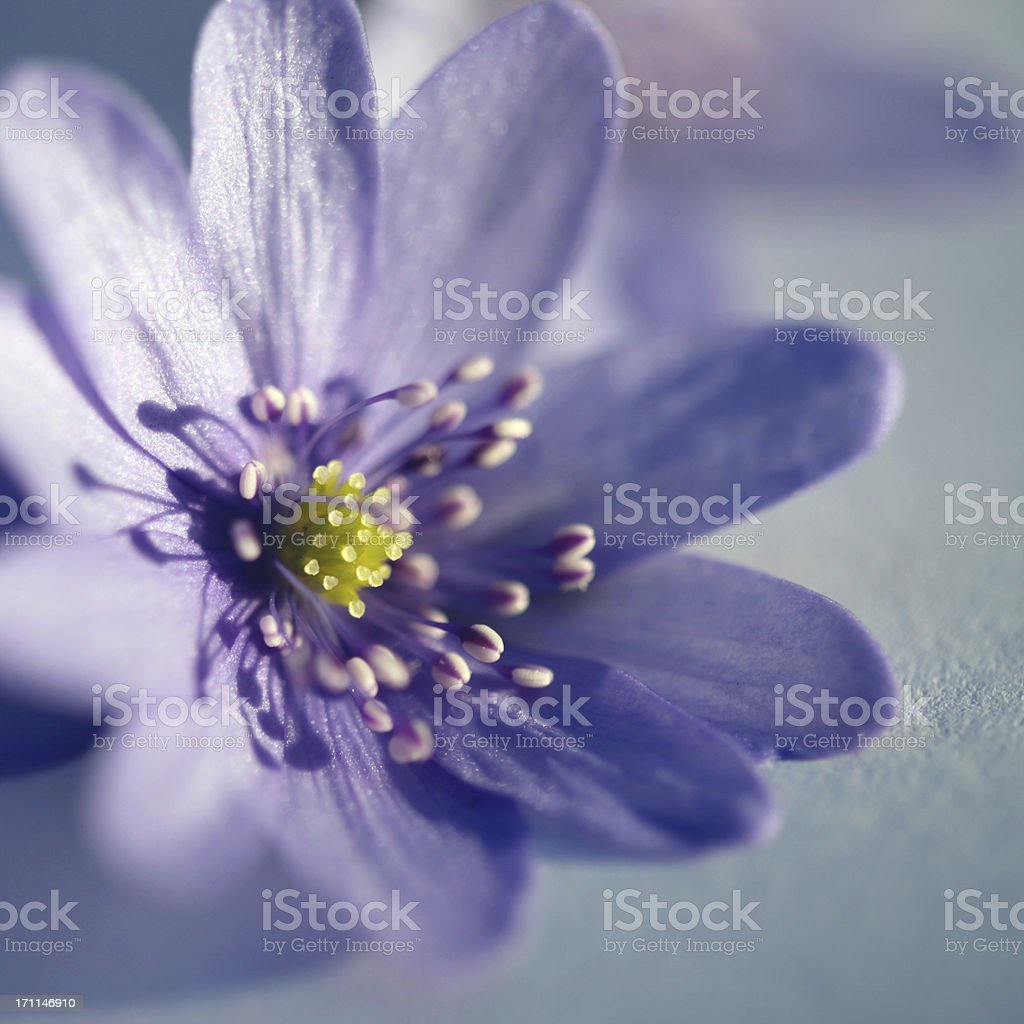 Beautiful anemone flower - Hepatica Nobilis close-up stock photo