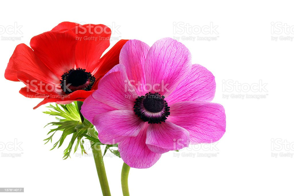 Beautiful anemone flowers on white with copy space. royalty-free stock photo