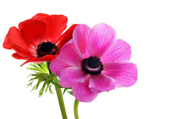 Beautiful anemone flowers on white with copy space picture id137814017?b=1&k=6&m=137814017&s=612x612&w=0&h=sn4cnkievjxtzmk3xf2st0tweg6jegodlrmofbz6cqs=