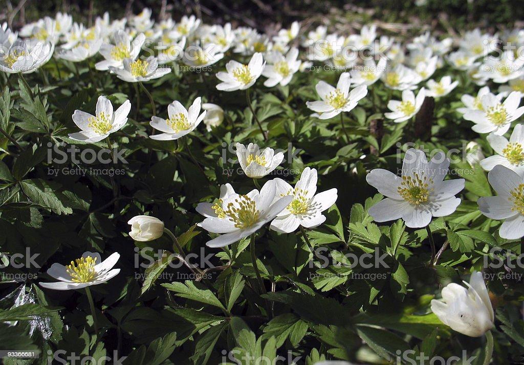 Beautiful Anemone Nemorosa also called Windflowers stock photo