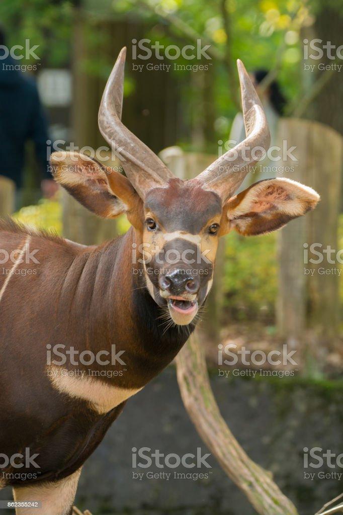 Hermoso animal - antílope bongo oriental grande, extremadamente raro animal, dejando sólo en Kenia. - foto de stock